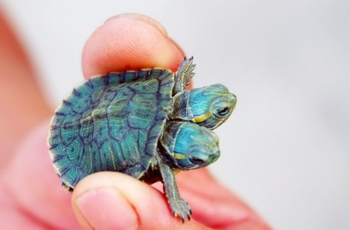 Siamese Turtle Shell